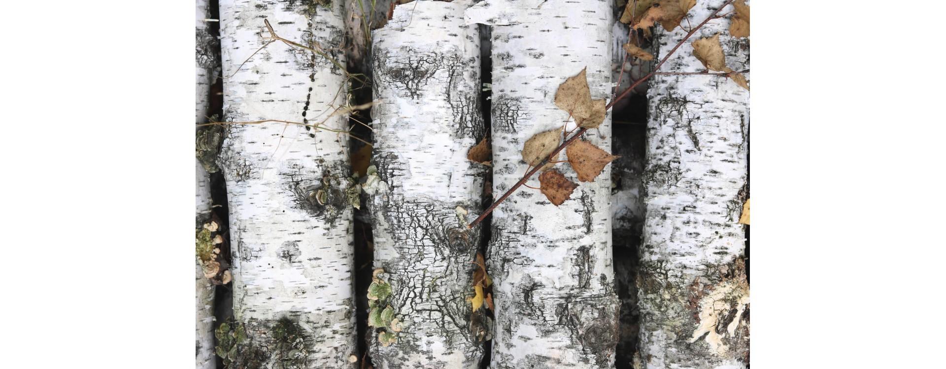 Legno di betulla: proprietà, caratteristiche e utilizzi dell'essenza del Nord